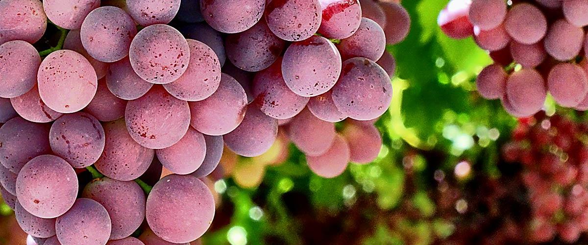 Racimo uvas