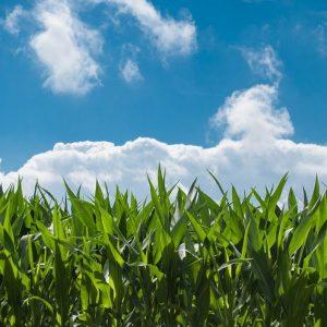 Herbicidas para cultivos de maíz
